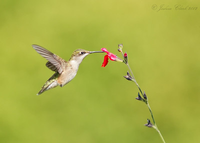 Female Ruby-Throated Hummingbird Portage County, Ohio
