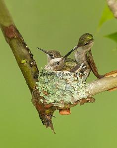 Ruby-Throated Hummingbird nest Gahanna, Ohio