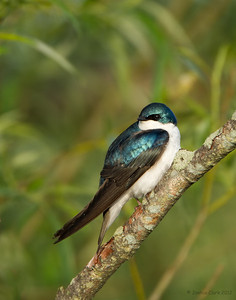 Tree Swallow Ira Park, Ohio