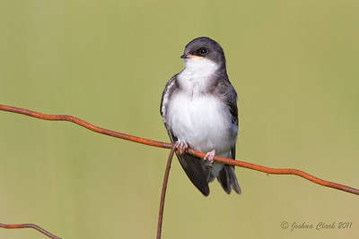 Juvenile Tree Swallow Richfield Coliseum Grasslands, Ohio