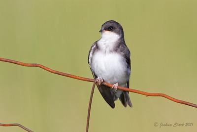 Juvenile Tree Swallow Richfield Coliseum Grasslands, Ohio