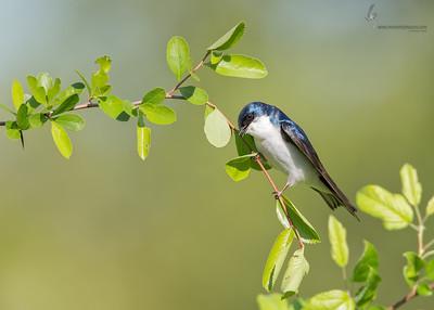 Tree SwallowBath Nature Preserve, Ohio