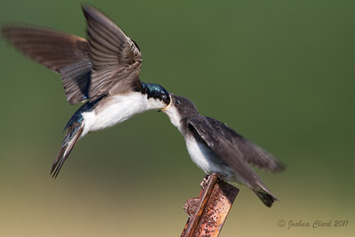Parent Tree Swallow feeding juvenile Richfield Coliseum Grasslands, Ohio