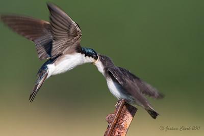 Parent Tree Swallow feeding juvenile Richfield Coliseum Grasslands, Ohio