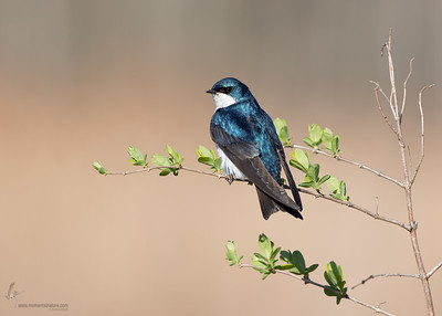 Tree SwallowBrecksville Reservation, Ohio
