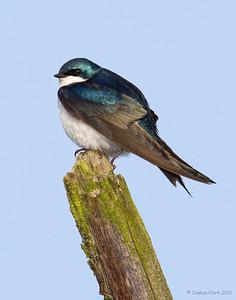 Tree Swallow Ira Park, Ohio