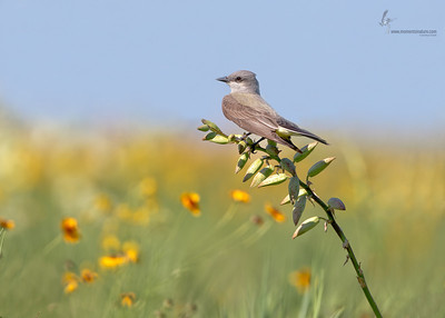 Western KingbirdDallas, Texas