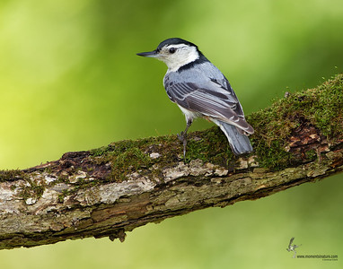 White-breasted Nuthatch Freedom, Ohio