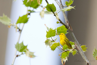 Yellow WarblerBrecksville Reservation, Ohio