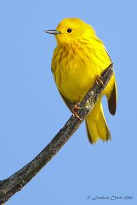 Yellow WarblerIra Park Trailhead, Ohio