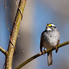 White Throated Sparrow on Sassafras Tree
