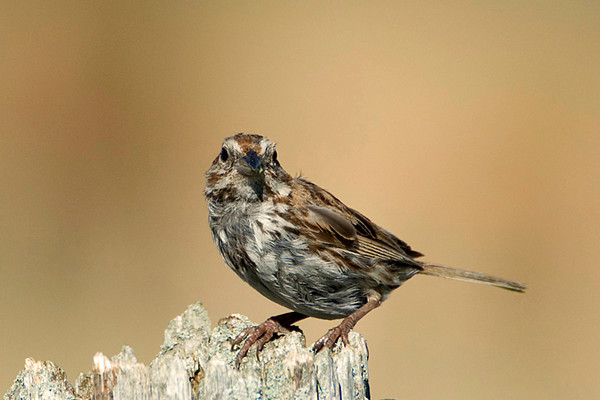 Chipping Sparrow (molting plummage)<br /> Carden Alvar, Ontario