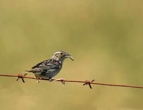 Grasshopper Sparrow<br /> Carden Alvar, Kirkfield, Ontario