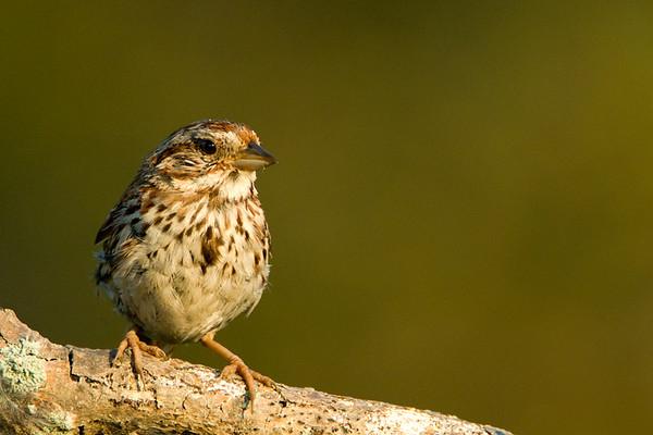 Song Sparrow<br /> Presquile Provincial Park