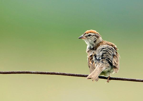 Chipping Sparrow 1<br /> Carden Alvar, Ontario