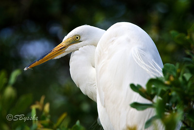 Young Great Egret, St Augustine