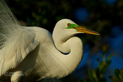 Great Egret, St. Augustine
