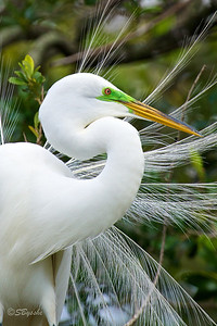 Great Egret display close up