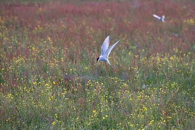 Arctic tern in flower field