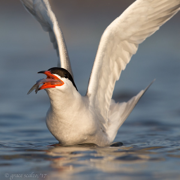 Common Tern with Fish