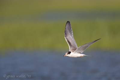 Common Tern Juvenile