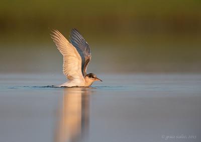 Common Tern Juvenile Bathing