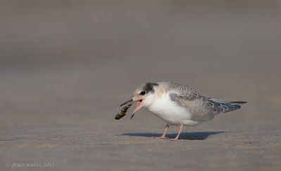 Common tern Juvenile with Fish