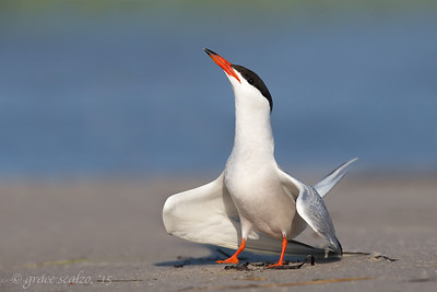 Common Tern Adult - Display posture