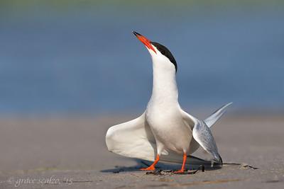 Common Tern Adult - Display posture