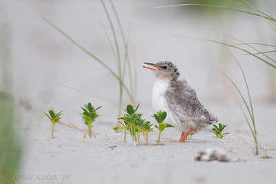 Common Tern Chicks (Living and Dead)