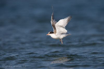 Common Tern Juvenile Leaping after Bathing