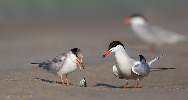 Common Terns with Fish