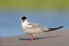 Common Tern Adult