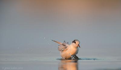Common Tern Juvenile