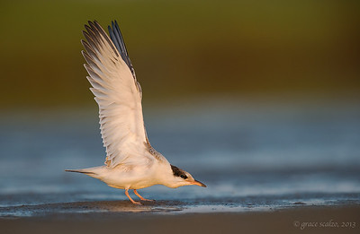 Common Tern Juvenile Wing Stretch