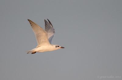 Gull Billed Terns