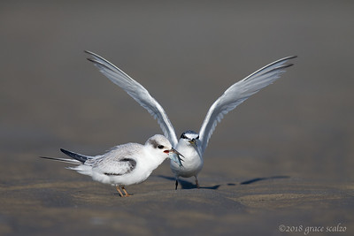 Least tern juvenile being fed