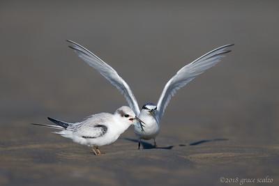 Least tern juvenile being fed