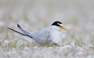 Least Tern and Chick