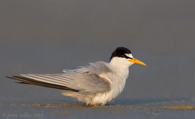 Least Tern fluffing