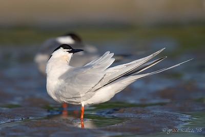 Roseate tern preening