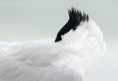 Sandwich tern portrait