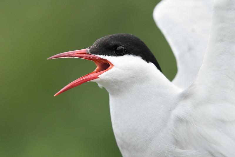 Arctic Tern; 300m 1/2500 f/4.5 ISO 1600