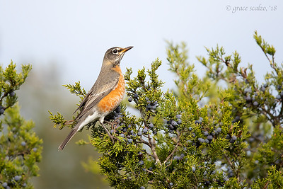 American Robin on Ashe Juniper