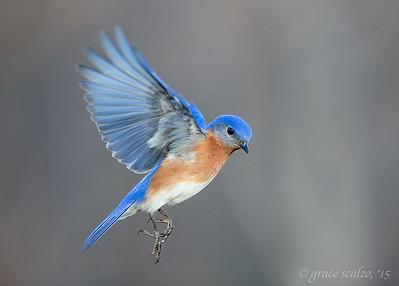 Eastern Bluebird Flutter