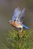 Easterm Bluebird