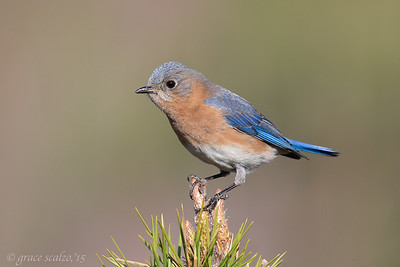 Eastern Bluebird on Pine