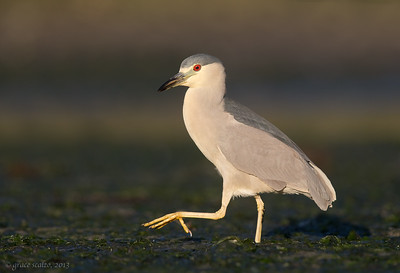 Black-crowned Night Heron Stepping Out