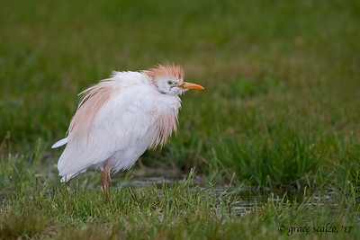 Cattle Egret in the Rain