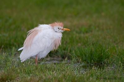 Cattle Egret in the Rain